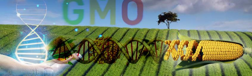 A Nóż Widelec – GMO